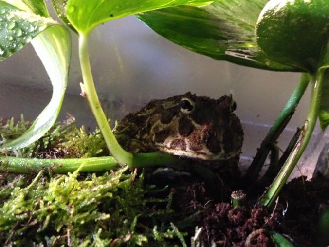 Meet Gremlin The Pacman Frog The House Of Animals