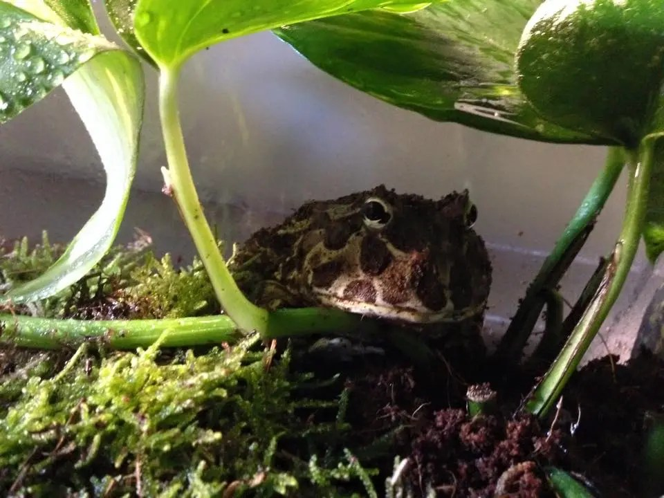 Meet Gremlin – The Pac Man Frog