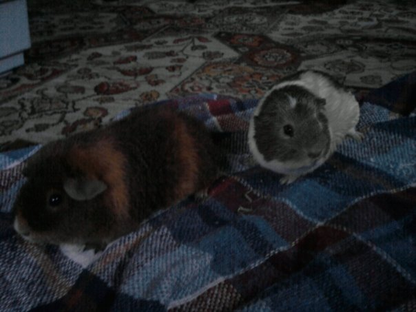 Should You Keep Rabbits And Guinea Pigs Together?
