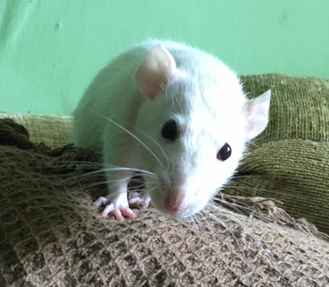 10 Things You Need To Know Before Owning Rats – The House of