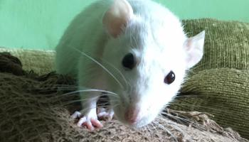 A List Of Safe And Dangerous Food For Rats – The House of
