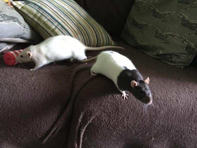 rats-playing