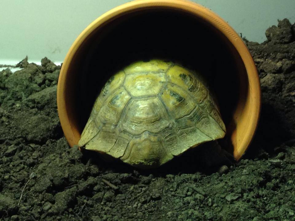 Meet Gordon – The Tortoise With Two Legs