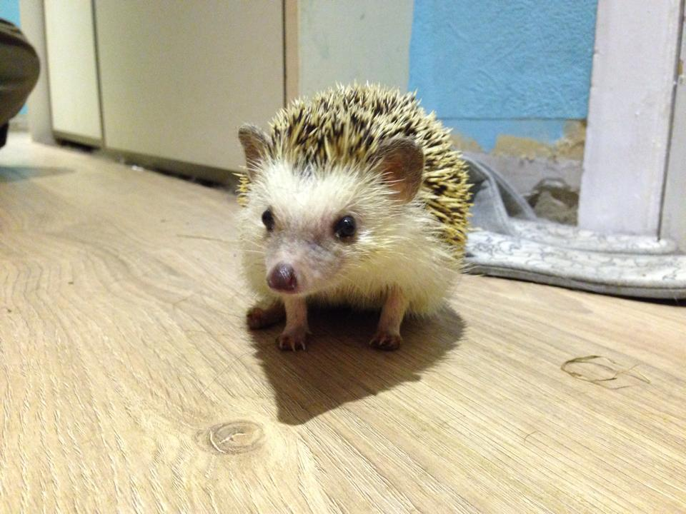 Do African Pygmy Hedgehogs Make Good Pets?