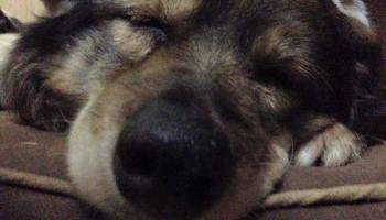 Living With A Dog With A Collapsed Trachea – The House of