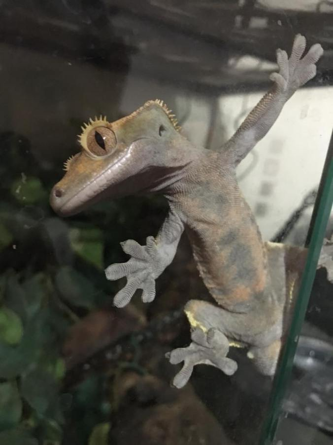 crested-gecko-sticks-to-glass