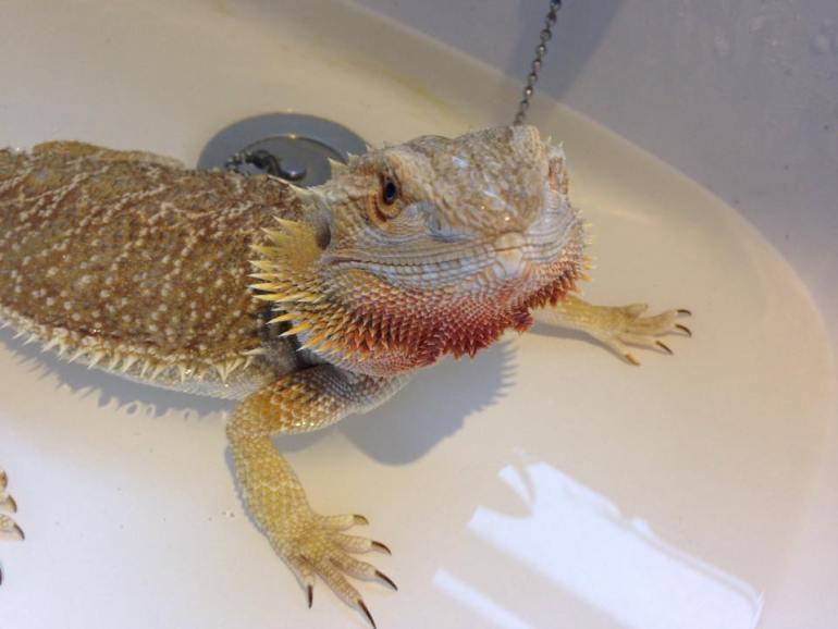 bearded-dragon-bath