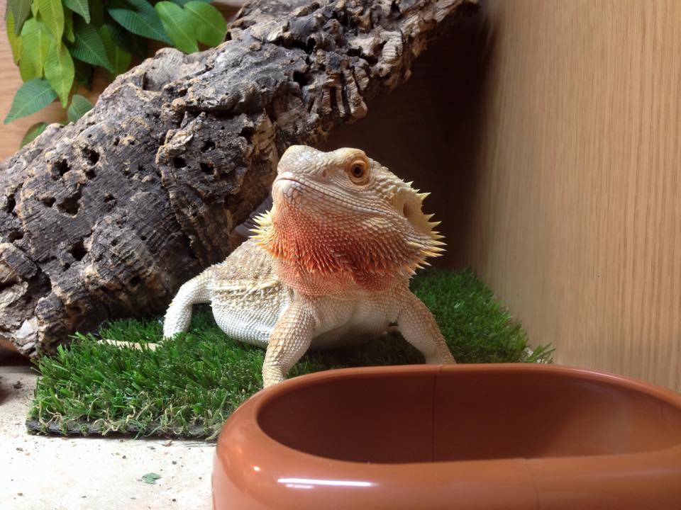 10 Things You Need To Know Before Owning A Bearded Dragon