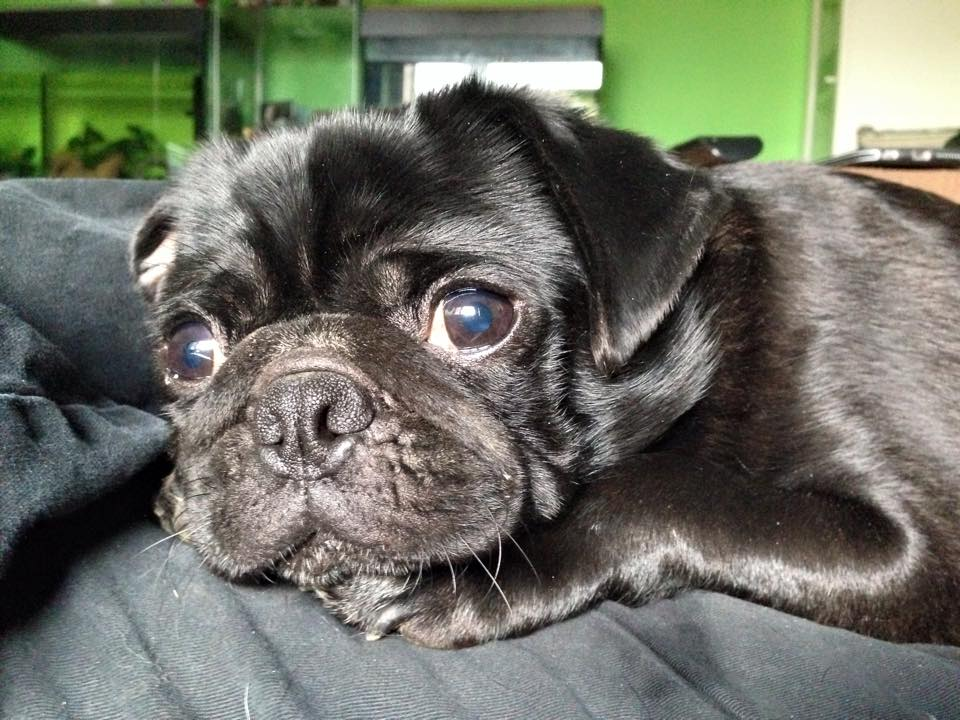 10 Things I Wish I Knew Before Owning A Pug