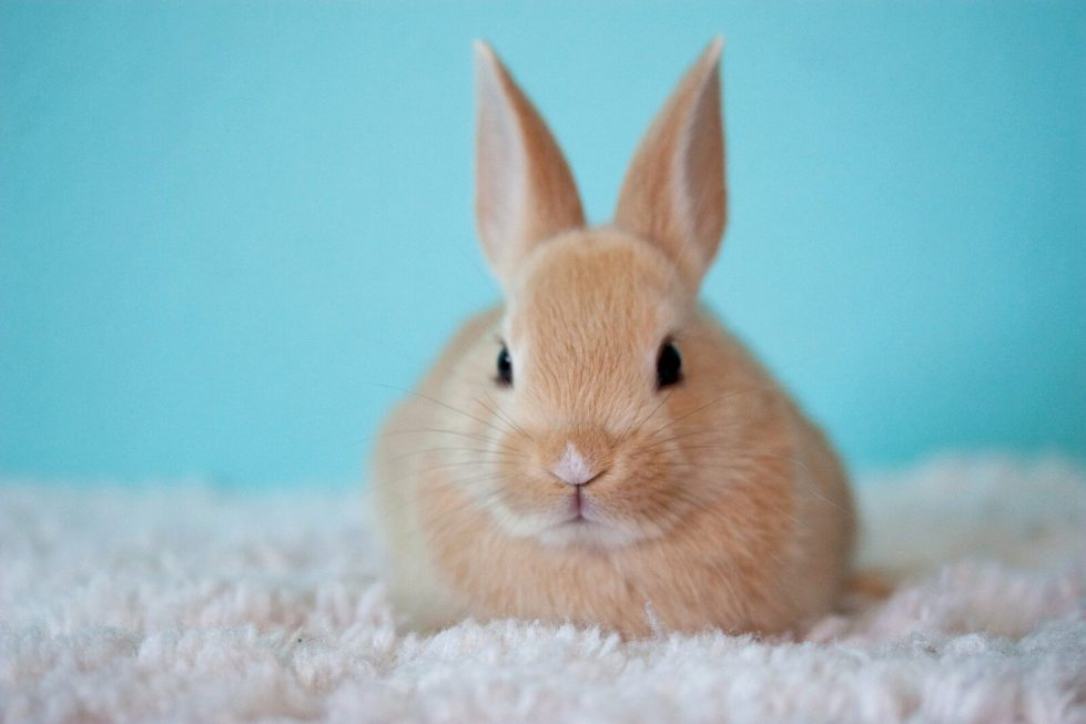 Release Of New Rabbit Vaccination