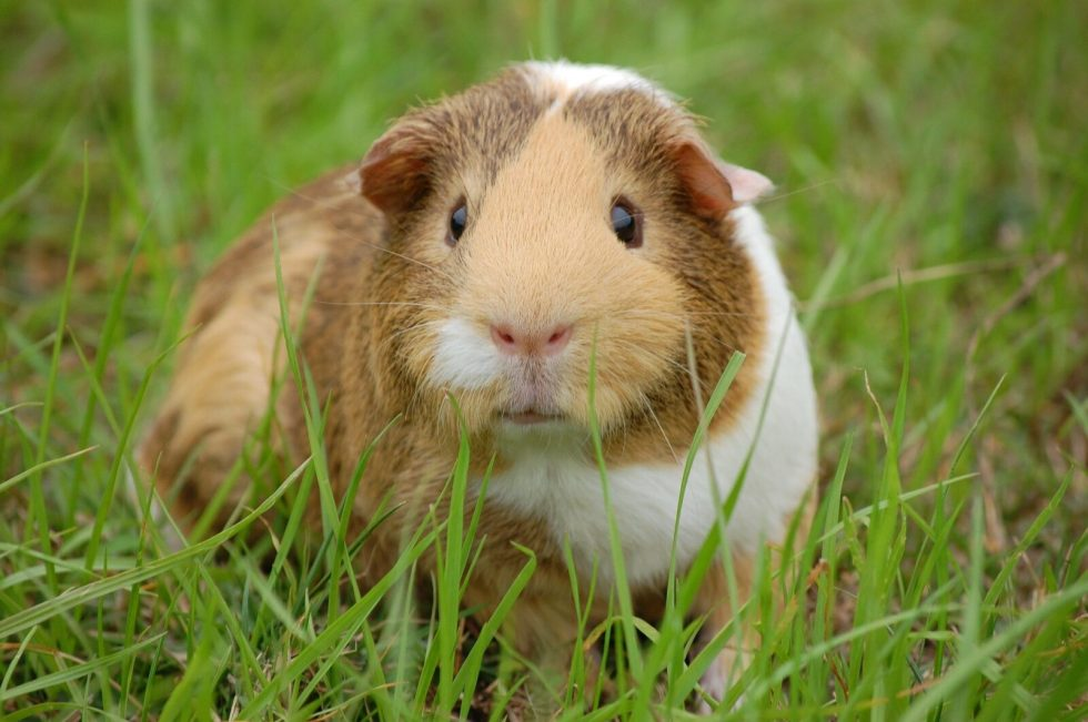 What Are The Best Toys For Guinea Pigs?