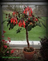 Fuchsia 'Gartenmeister Bonstedt' Standard