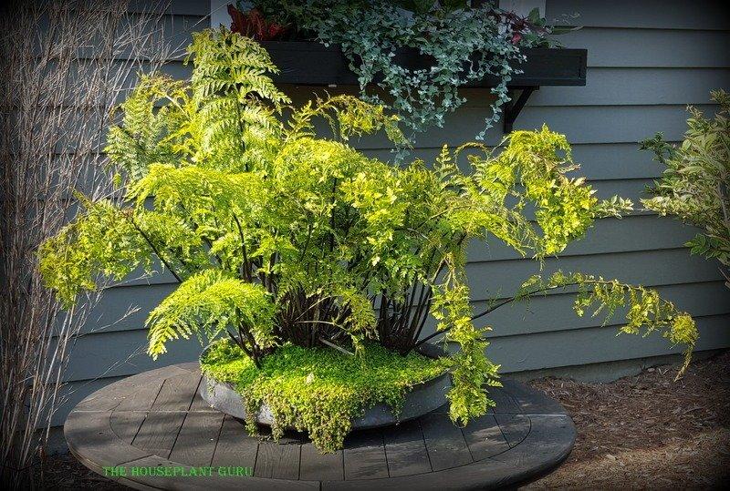 Mother fern - Asplenium bulbiferum
