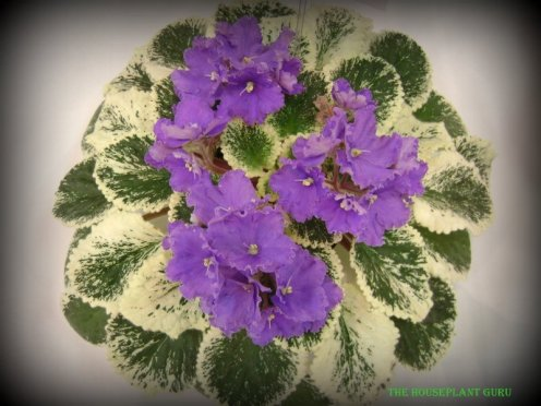 African violet convention 2012 010