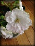 African violets today 007