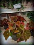 Begonia 'Auitumn Ember'