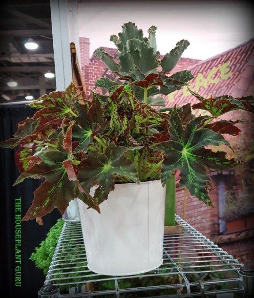 Begonia 'Butterscotch'