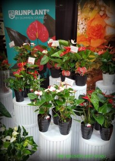Collection of Anthuriums