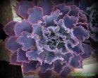 roseacre greenhouse 031