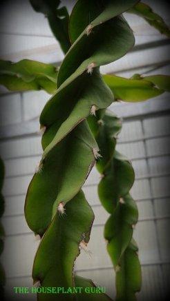 Hurricane cactus or Lepismium cruciforme var. 'Sprialis'