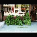Macho ferns in front of a business in Traverse City