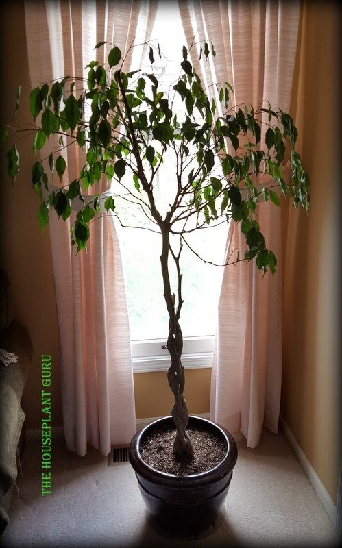 Ficus in its new home.