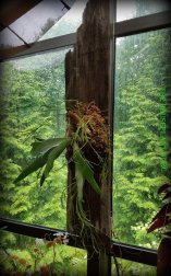 Stag horn fern and Rhipsalis