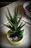 Sansevieria 'Spiky'