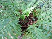 Oak leaf fern basket with debris in it