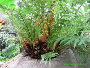 Here is the fern on a rock (epipetric)