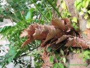 Oak leaf sterile fronds