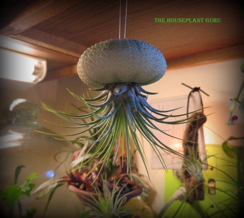 Tillandsia ionantha in a sea urchin shell