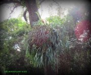 HUGE staghorn fern hanging from a tree