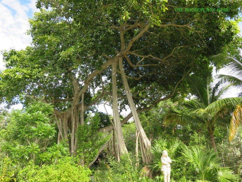 Council tree or Ficus altissima