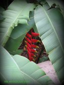 Heliconia in the fountain garden