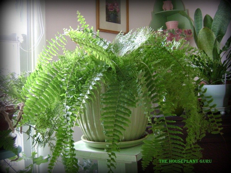Over 30 year old fern
