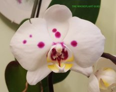 florida orchids 062