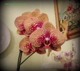 florida orchids 064