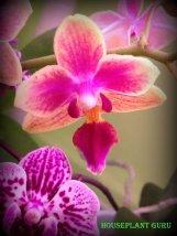 gardenia 133