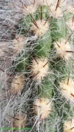 Areoles, spines, and hair on a cactus
