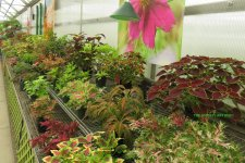 Coleus as far as the eye can see