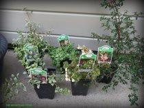 The Faery Plant Kingdom tropical shade plants