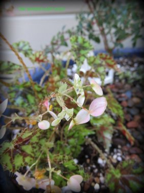 Begonia 'Rhinestone'
