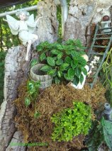 Peperomia meridana 'Pixie' -top, Syngonium 'White Pixie'-left, Selaginella-bottom
