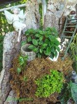 Peperomia meridana 'Pixie' -top, Syngonium 'White Pixie'-left, Selaginella-bottom