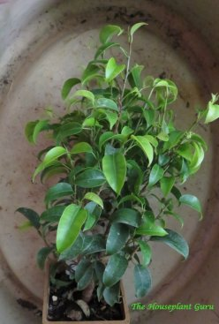 Ficus 'Tiny Limey'