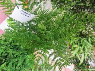 Pteris dentate straminea or Toothbrake fern at the Optimara booth