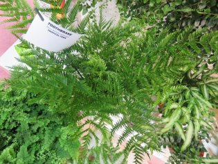 Pteris dentate straminea or Toothbrake fern at the Optimara booth