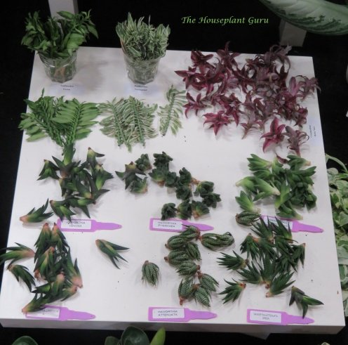 Pedilanthus, Cryptanthus, and Haworthia cuttings and plantlets