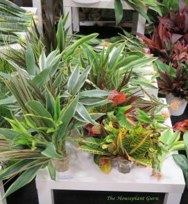 Croton and Dracaena cuttings